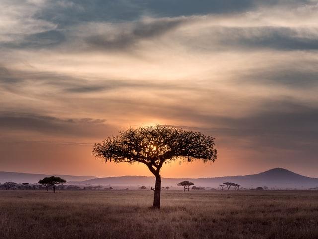 アフリカの木